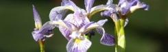 Tuin vol irissen in Florence